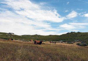 Vacas pastando en terrenos en alquiler